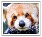 International Red Panda Day