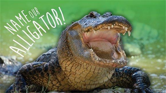 Name our Alligator