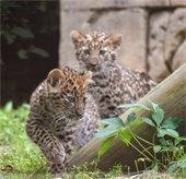 Leopard Cubs Explore the Exhibit