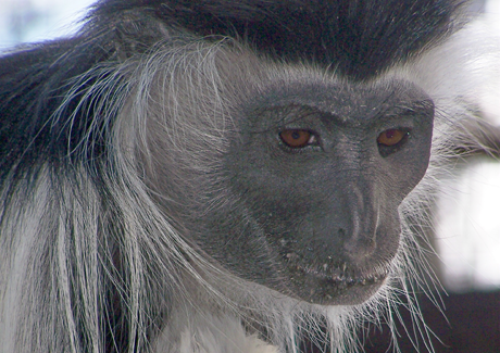 Lami, a Colobus monkey, is the mother of Dayo, Kumbe and Adanna, all born at the Greenville Zoo