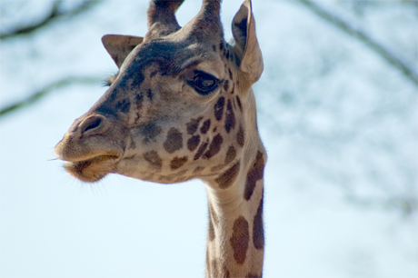 Photo of Walter, one of the zoo's 3 resident giraffes. His favorite food is Monkey Chow Biscuits.