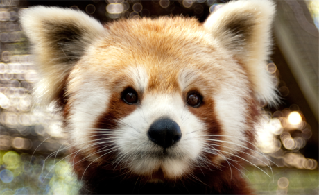 Firecracker is 1 of 3 Red Pandas at the Zoo.