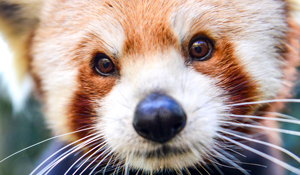close-up photo of a red panda face