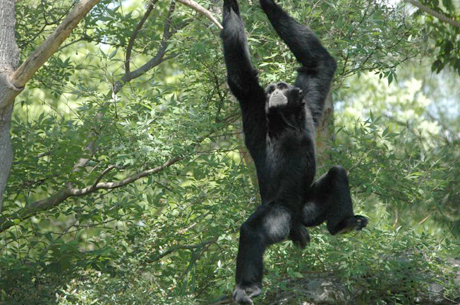 Oscar, a Siamang gibbon, and his brother, Arthur, are the most vocal residents of the Greenville Zoo