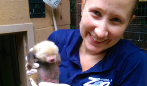 Zoo staffer holding a red panda newborn