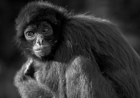 Selma, a Spider monkey, underwent chemotherapy in 2010 and is doing well.