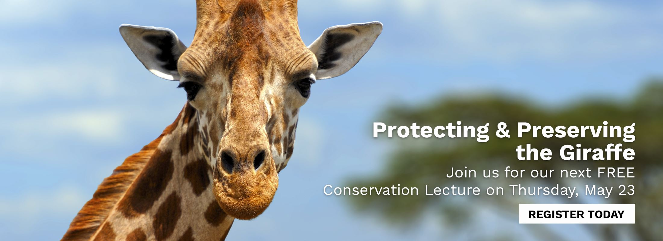 Photo of giraffe – Protecting and Preserving the Giraffe: Free Conservation Lecture Series on May 23.