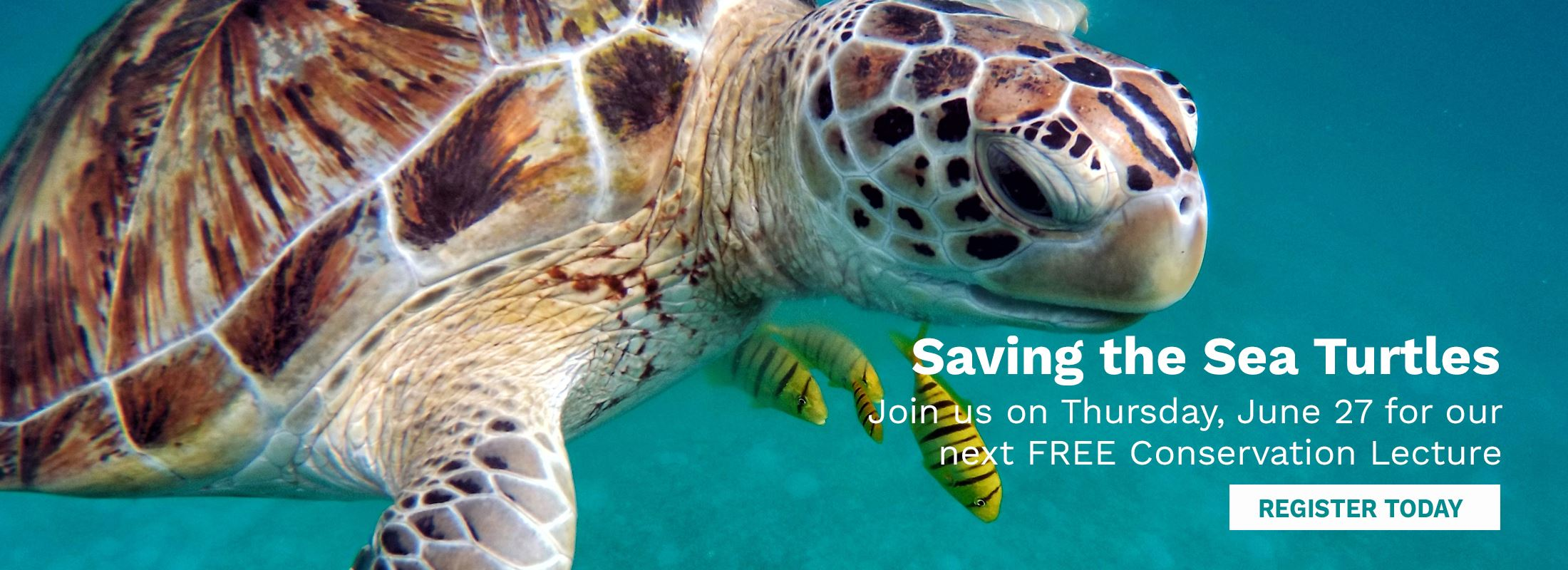Photo of sea turtle with caption Saving the Sea Turtles. Join us on Thursday, June 27 for a free lec