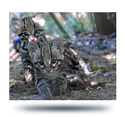 Ocelot kittens walking outside at the zoo