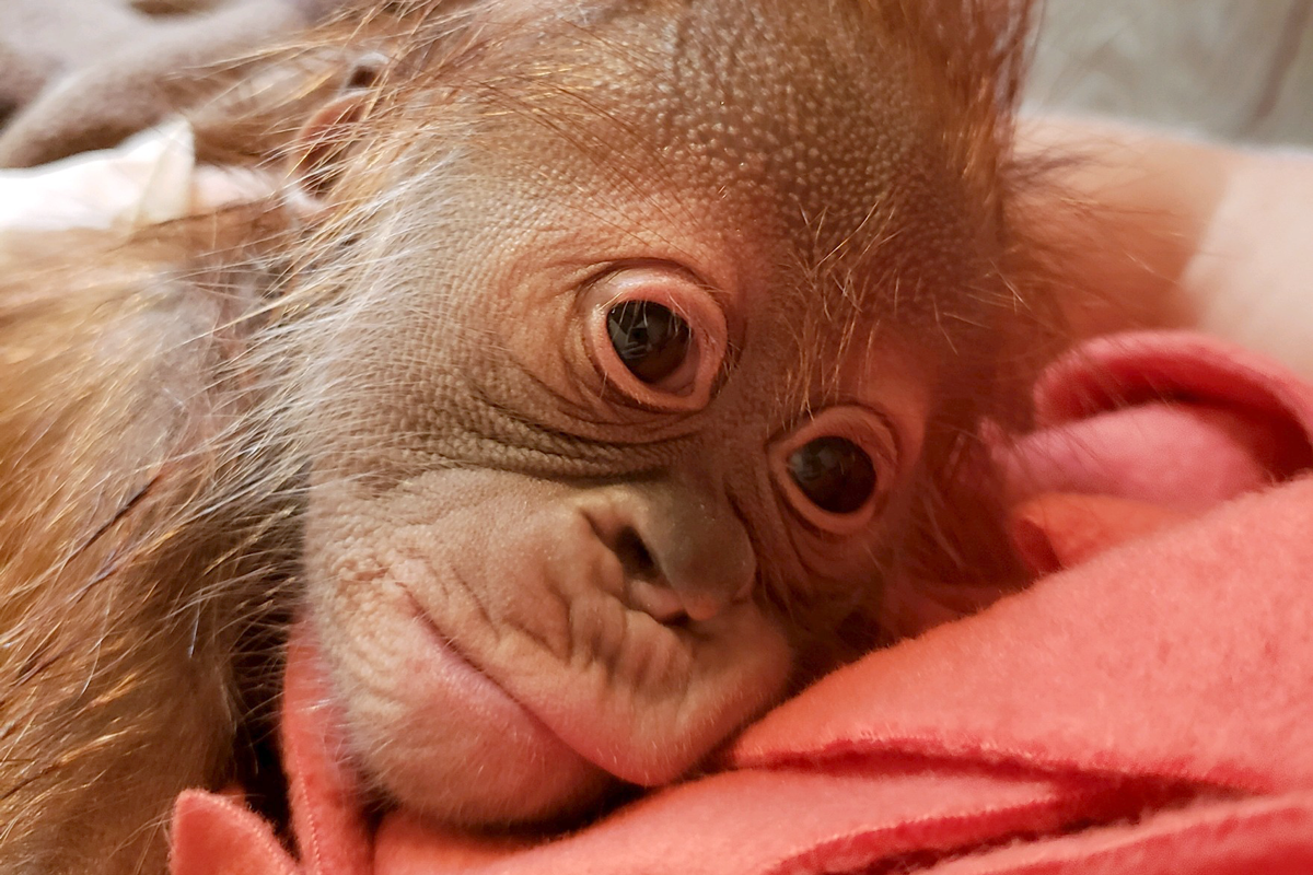 face of baby orangutan shortly after birth
