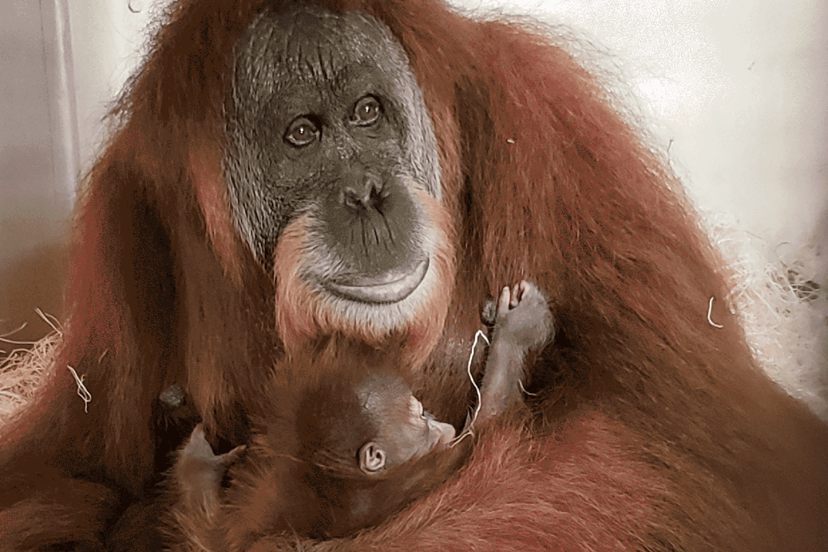 Mother orangutan Lana, holding her baby girl