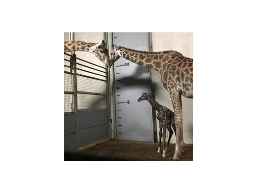 Photo of giraffes with new calf