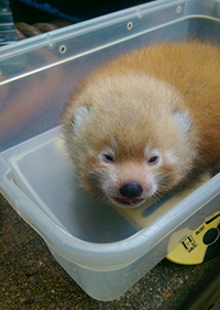 Red_panda(web).png